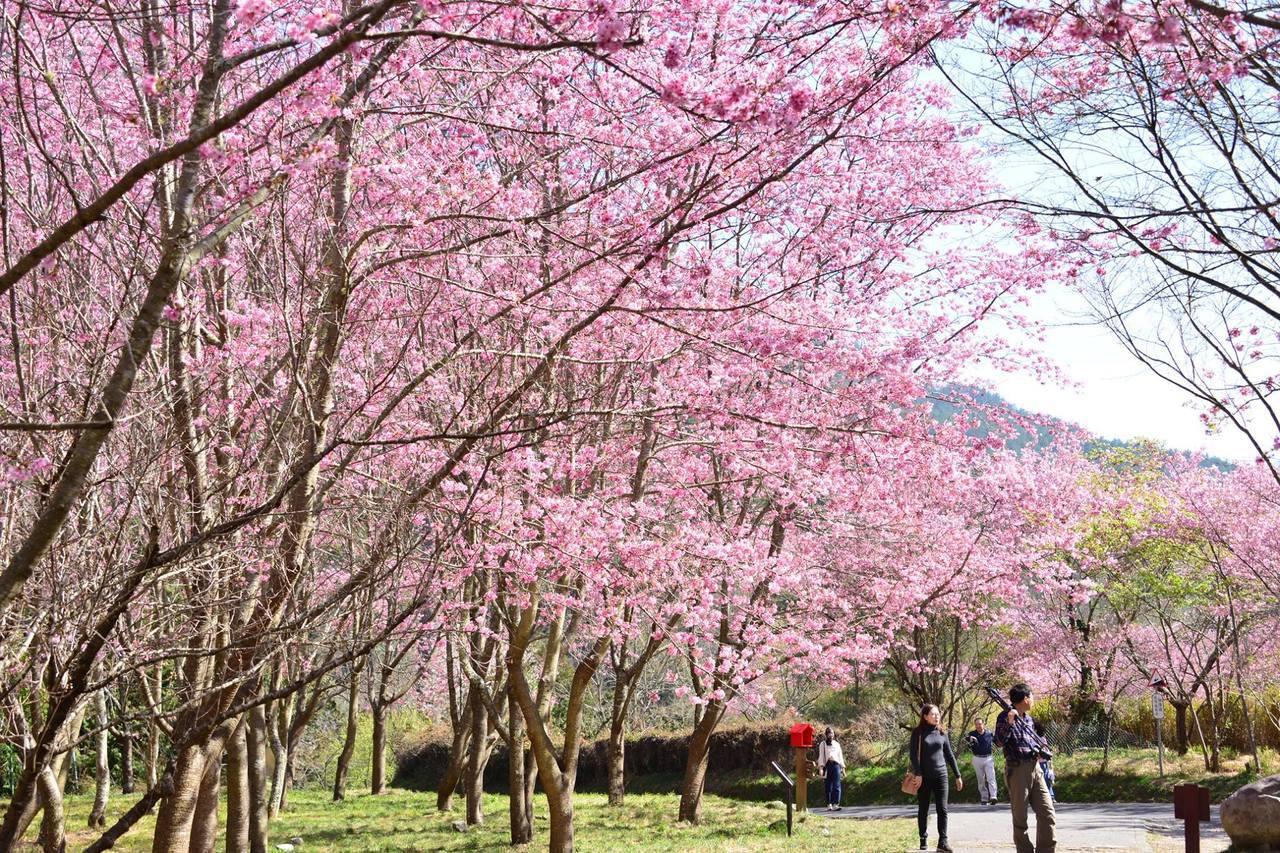 武陵農場已進入櫻花盛開期,部分區域出現櫻花雨。圖/摘自武陵農場粉絲專頁