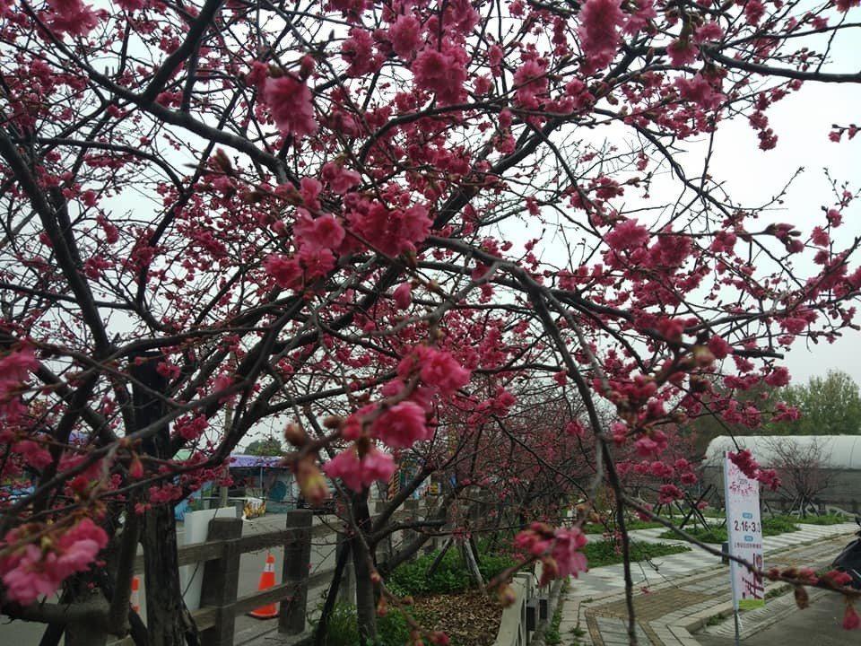 有最美派出所之稱的泰安派出所,今年遇到暖冬,花苞遲遲不開花,預計到228連假...
