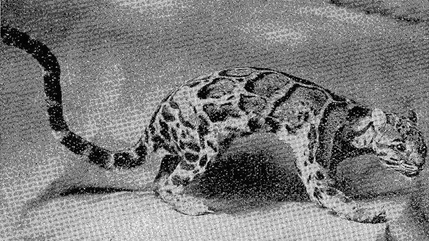 圖/作者提供,取自高島春雄《臺灣産Felidaeの和名に就いて》,1932年出版...