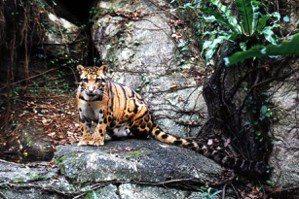 姜博仁/雲豹在台灣的前世今生:省思部落自然主權與雲豹復育