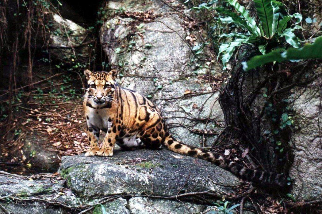 台灣雲豹檔案照。 圖/作者提供