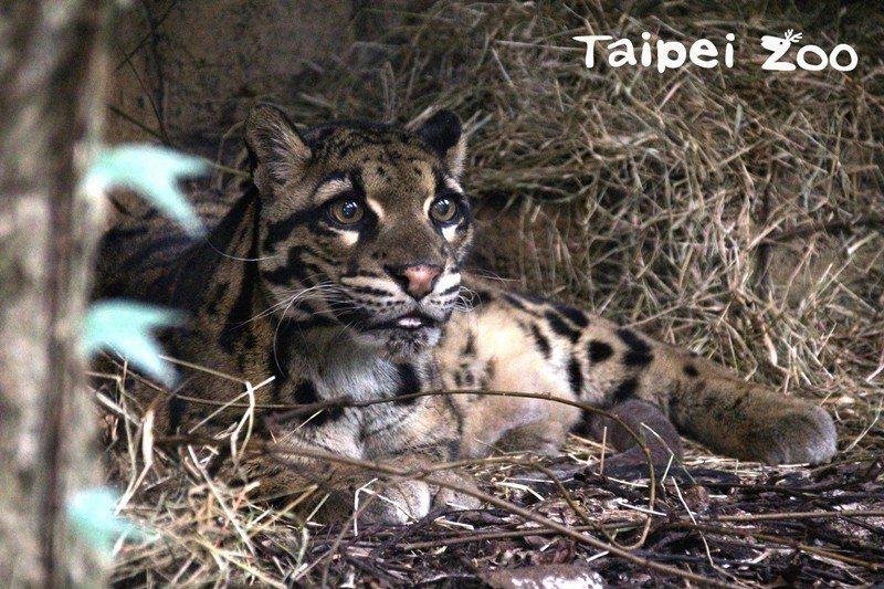 台北市立動物園母雲豹「雲新」,因年老導致多重器官衰竭,在2018年10月辭世。 圖/台北市立動物園提供