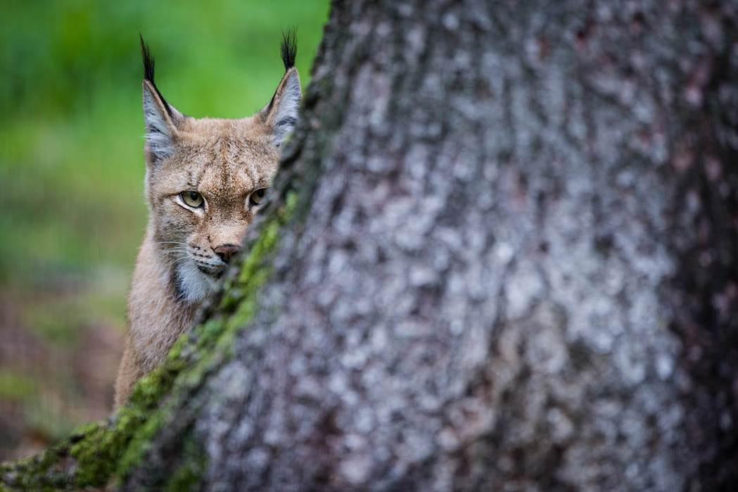 歐亞猞猁(Eurasian lynx) 圖/法新社