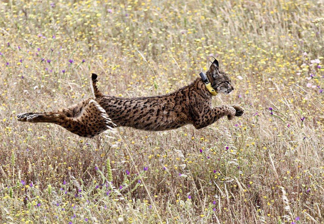 伊比利猞猁(Iberian lynx)。 圖/歐新社