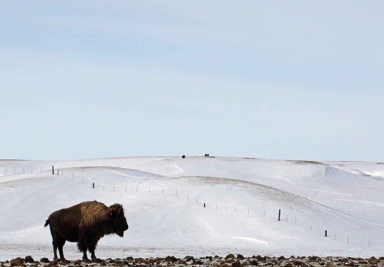 美洲野牛。 圖/美聯社