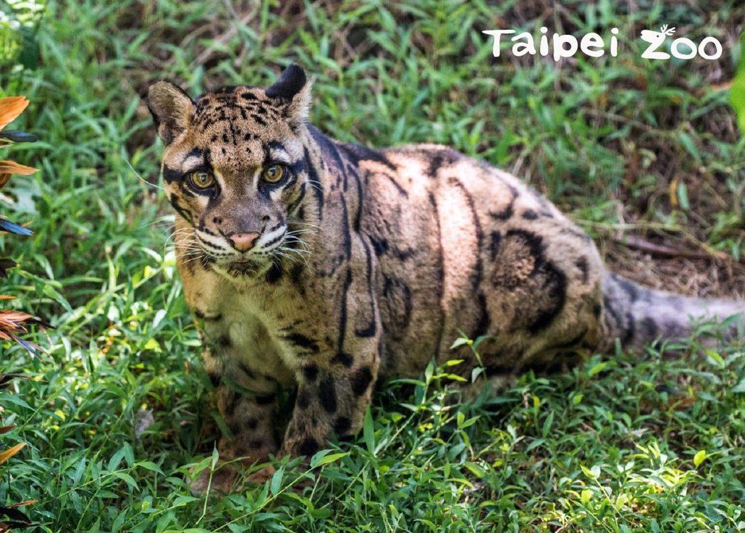 台北市立動物園母雲豹「雲新」。  圖/台北市立動物園提供