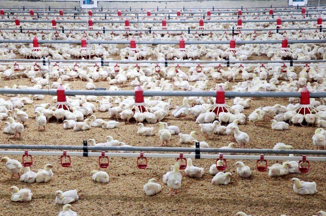 御正食品畜牧場裡有五萬隻雞,每一隻雞平均壽命35-38天,黃勝裕秉持人道培育,給...