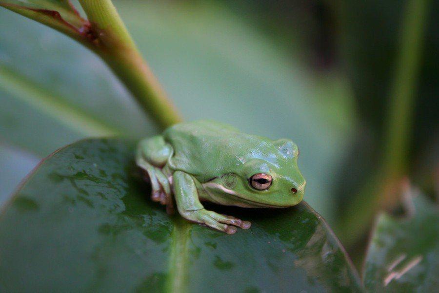 奪走蛙類性命的真菌演化後,恐怕會造成更大規模的瘟疫出現。(Photo by Ce...