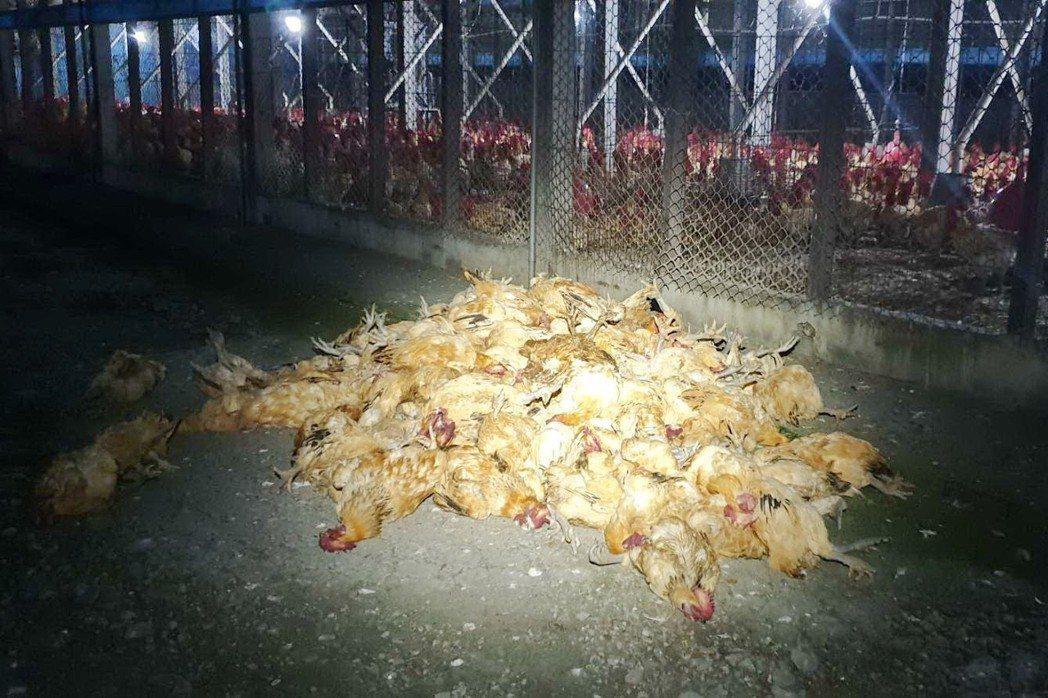 除夕夜有人施放煙火迎春,卻造成鄰近養雞場大批隻雞被嚇死。 圖/聯合報系資料照