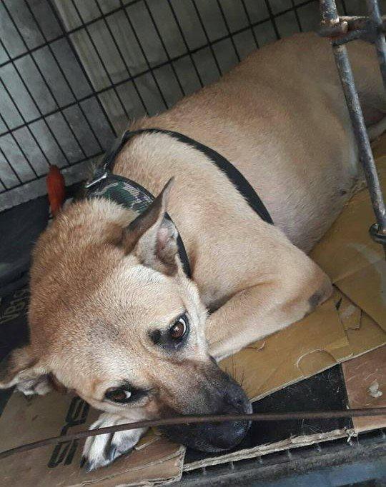 雄女校犬「安安」咬傷家長。圖/台灣動物緊急救援小組提供
