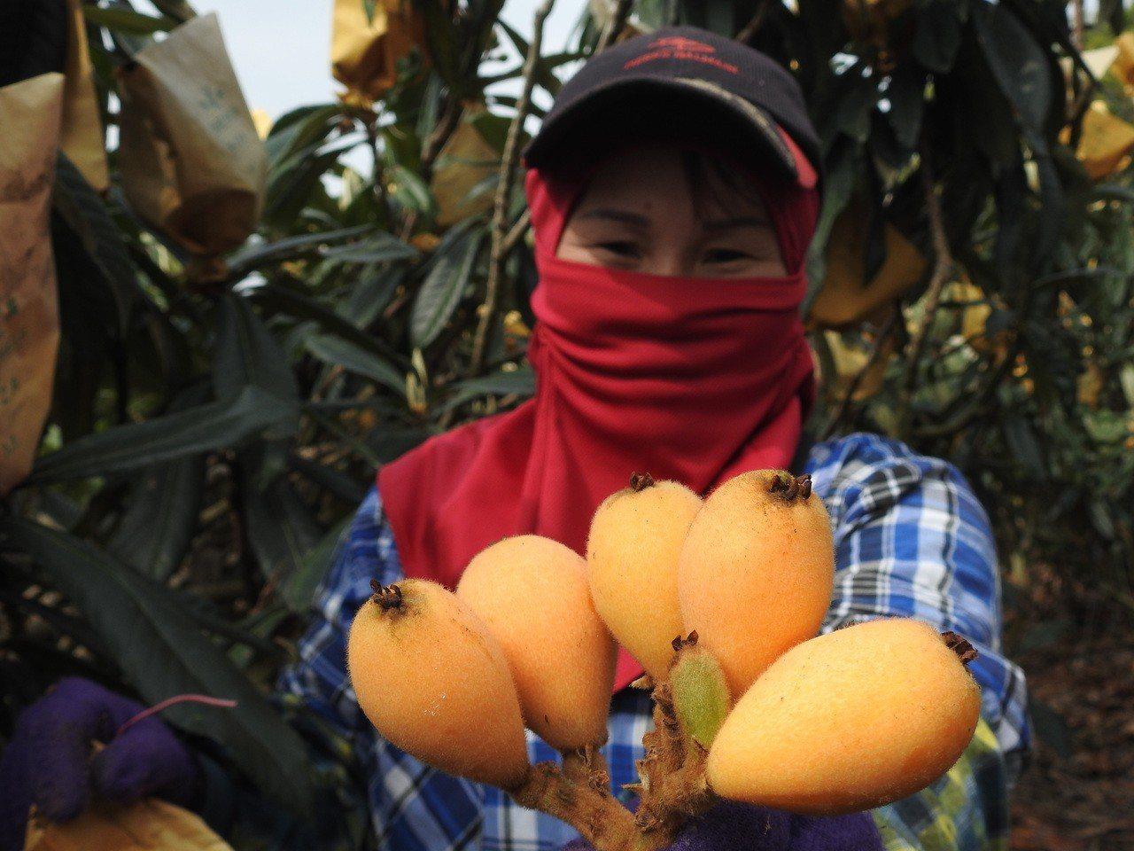 為確保枇杷品質和甜度,國姓枇杷農將每枝條疏果,讓果樹養份和水份均勻滋養果實。記者...