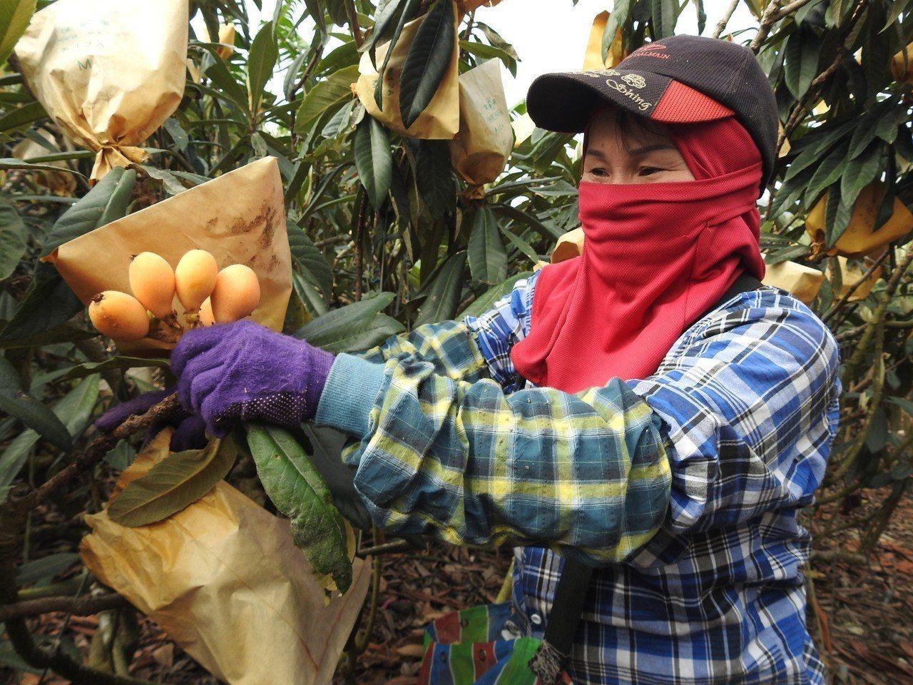 國姓枇杷農民今年加強疏花疏果和套袋等前置作業,以確保枇杷賣相優良,同時保持高甜度...