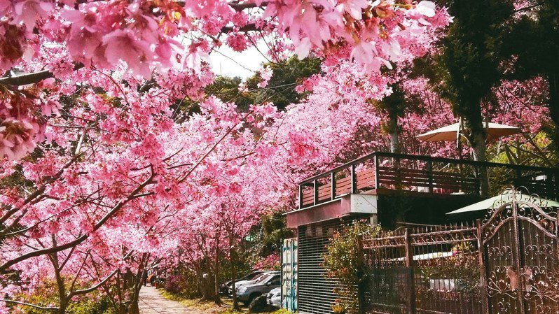 北橫桃園段山櫻、富士、吉野數千株櫻花接力綻放,為山林綠地添上美麗色彩。 圖/恩愛農場、二馬山莊提供