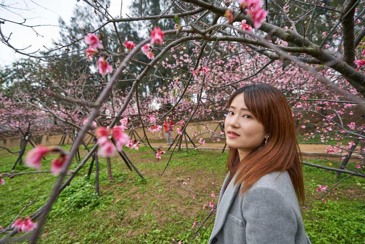 新竹公園最近櫻花滿開,隨手拍都美。圖/新竹市政府提供