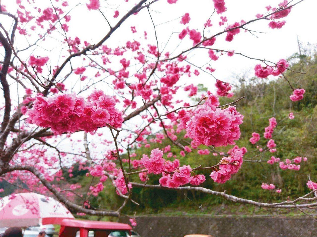 宜蘭三星與大同段的台七丙線被稱為「櫻花公路」,沿途2萬多棵櫻花綻放,滿路都是花樹...