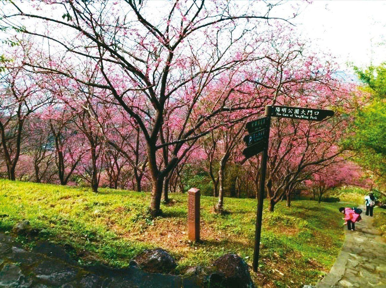 陽明山山櫻花、八重櫻大多進入尾聲,緊接進入盛開期的是昭和櫻,吉野櫻也將綻放。 圖...
