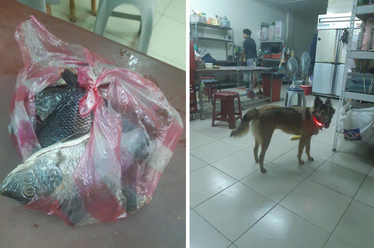 一名網友飼養的狗狗,半夜叼了袋魚回家,讓網友不知該如何處理。圖擷自爆廢公社二館