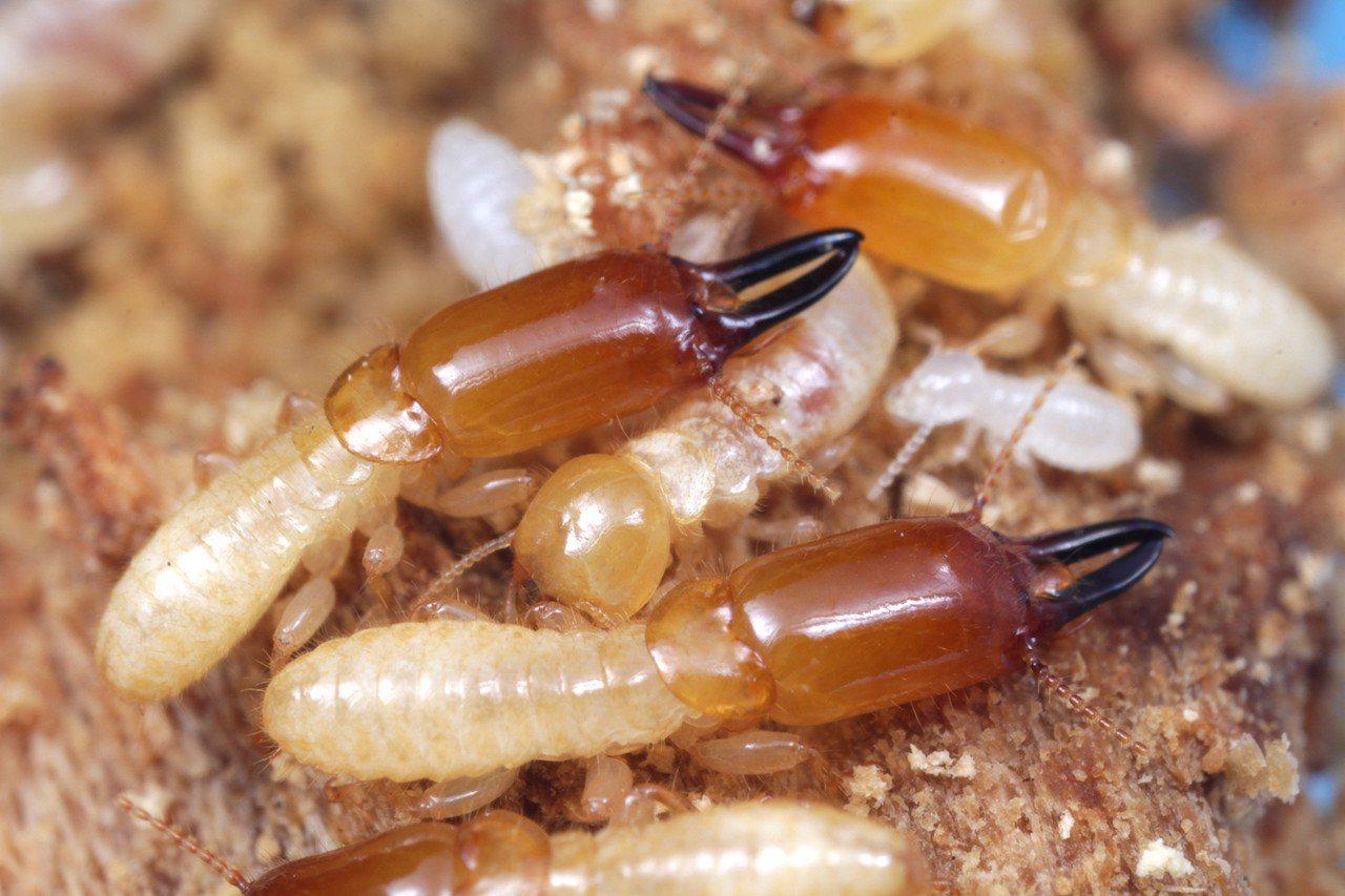 「穿山甲木鼻白蟻」的兵蟻與工蟻,牠足部的「節數」特徵與其他白蟻完全不同。圖/興大...