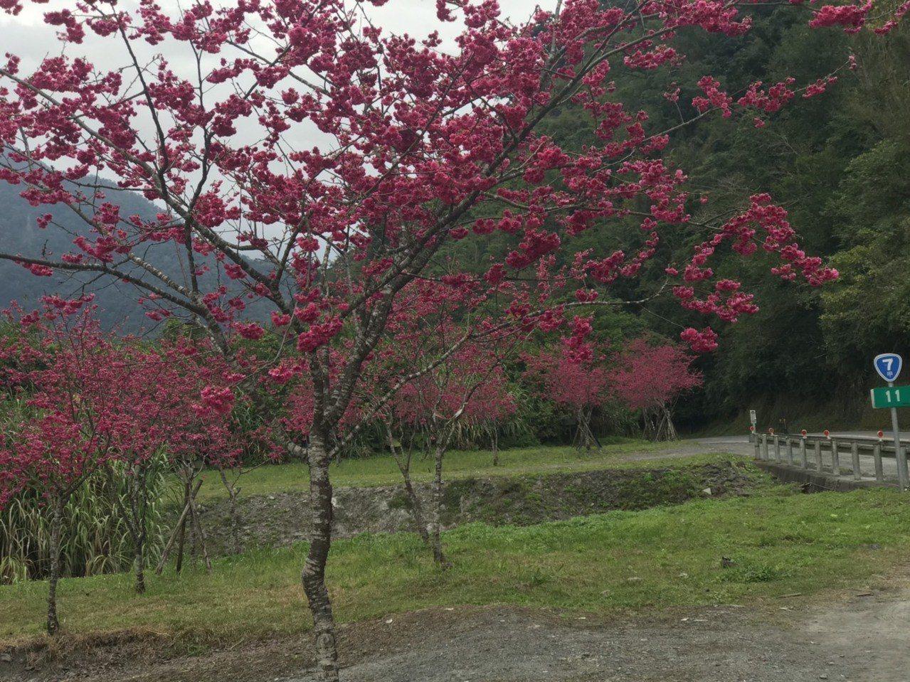 「櫻花公路」花季要結束了!每逢櫻花祭的到來,台七丙線都會有許多遊客來一睹「花姿」...