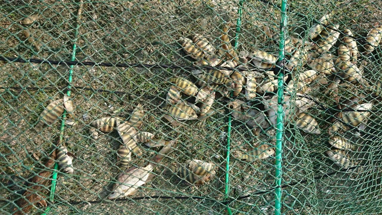 嘉義縣救難協會日前在蘭潭執行救溺任務,意外打撈到四張連結一起的「蜈蚣網」,網內不...