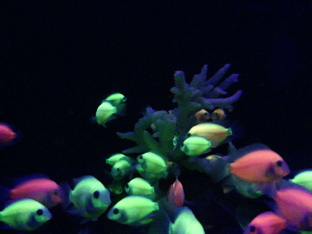 芝林公司發展的螢光魚。記者翁禎霞/攝影