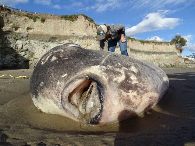 騙子太陽魚。(圖片擷自Coal Oil Point Reserve臉書)