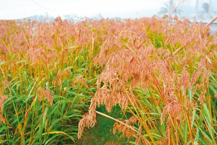 油芒耐旱、耐貧瘠,種下去之後幾乎不必照顧,採收完還可以再生。 徐子富╱提供