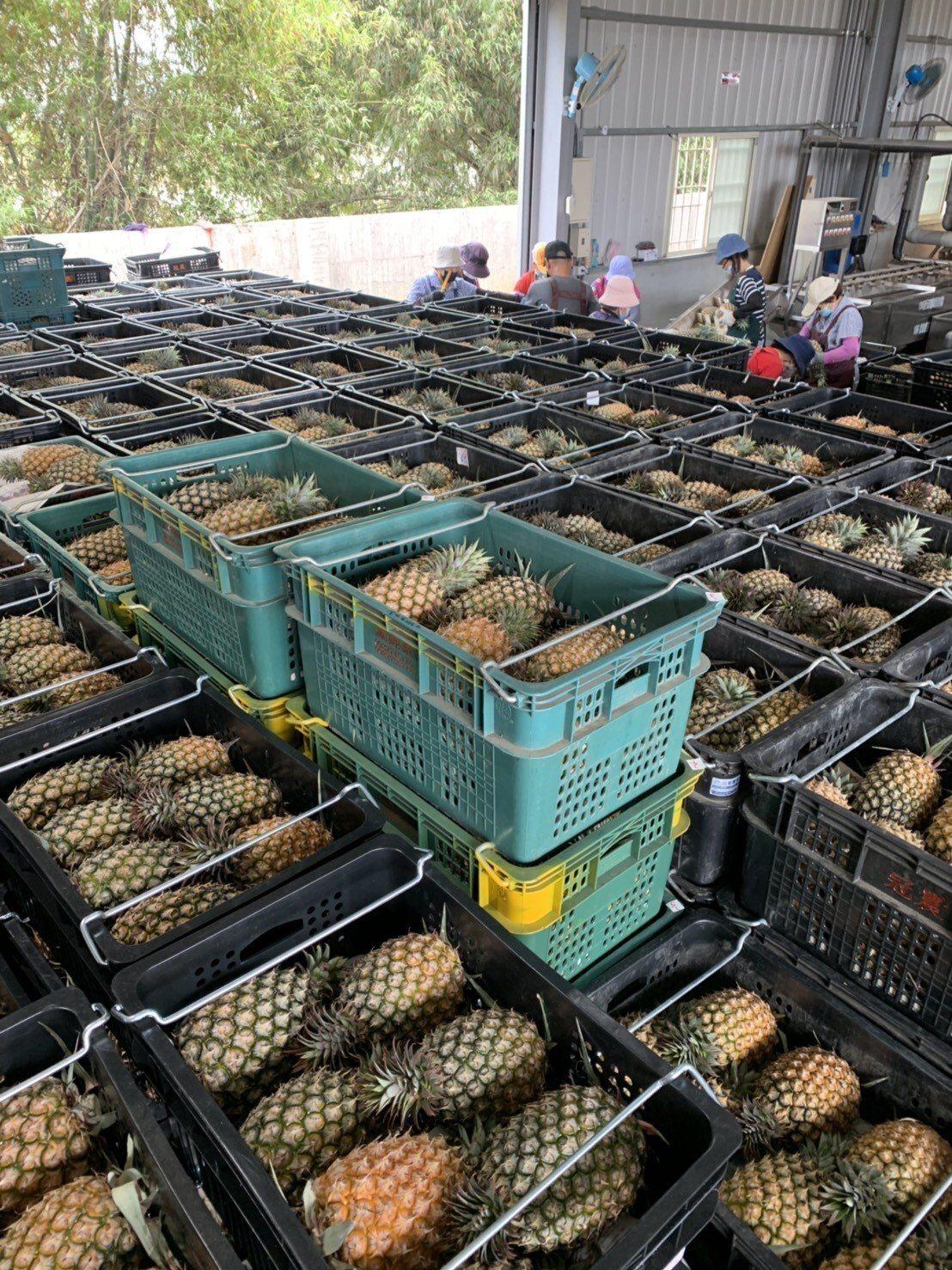 高雄鳳梨正值產季,一箱箱鳳梨準備出貨到大陸。圖/高雄市農業局提供