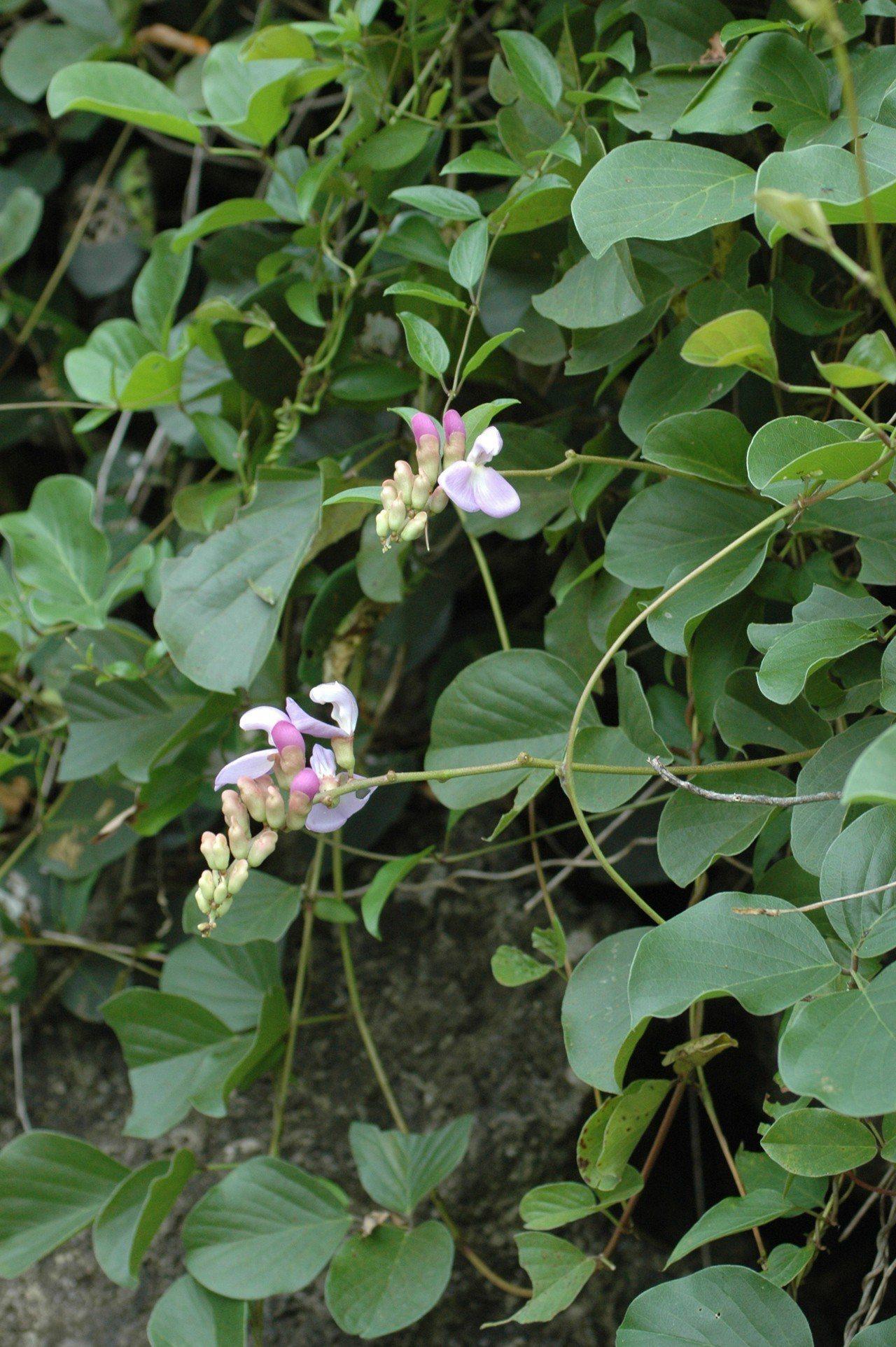 肥豬豆。圖/台北植物園提供