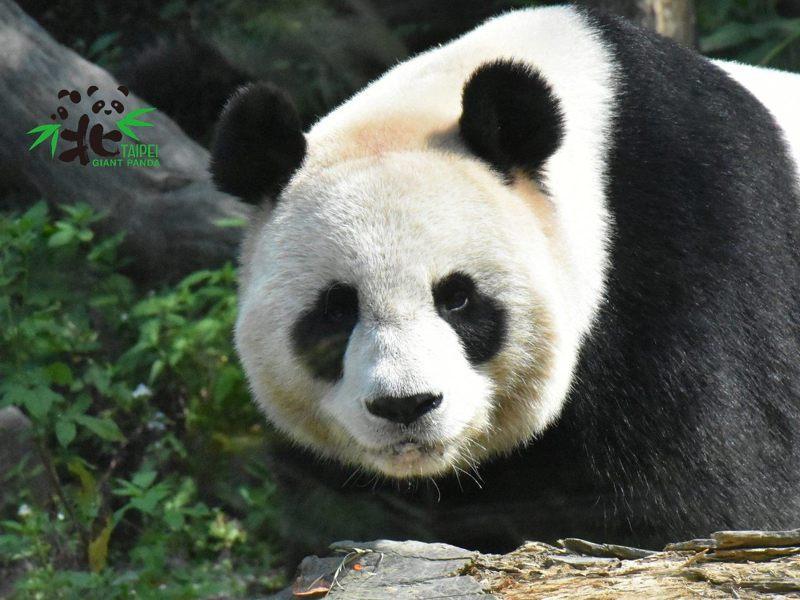 大貓熊「圓圓」近日進入發情期。圖/台北市立動物園提供