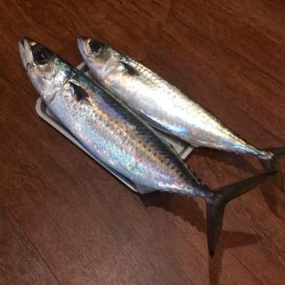 一支釣的白腹鯖(上)和花腹鯖(下)。圖/鄭雅嬬提供