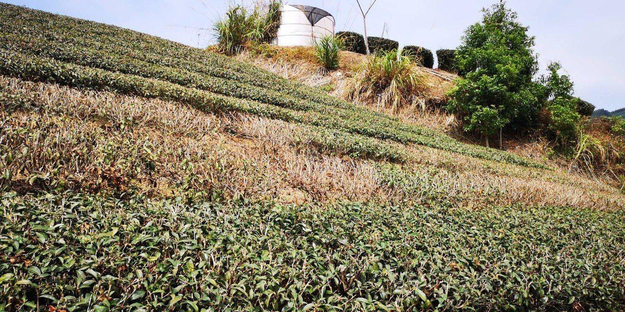 茶樹因暖冬高溫缺水,不少茶樹大片乾枯,成長停止。圖/官建安提供