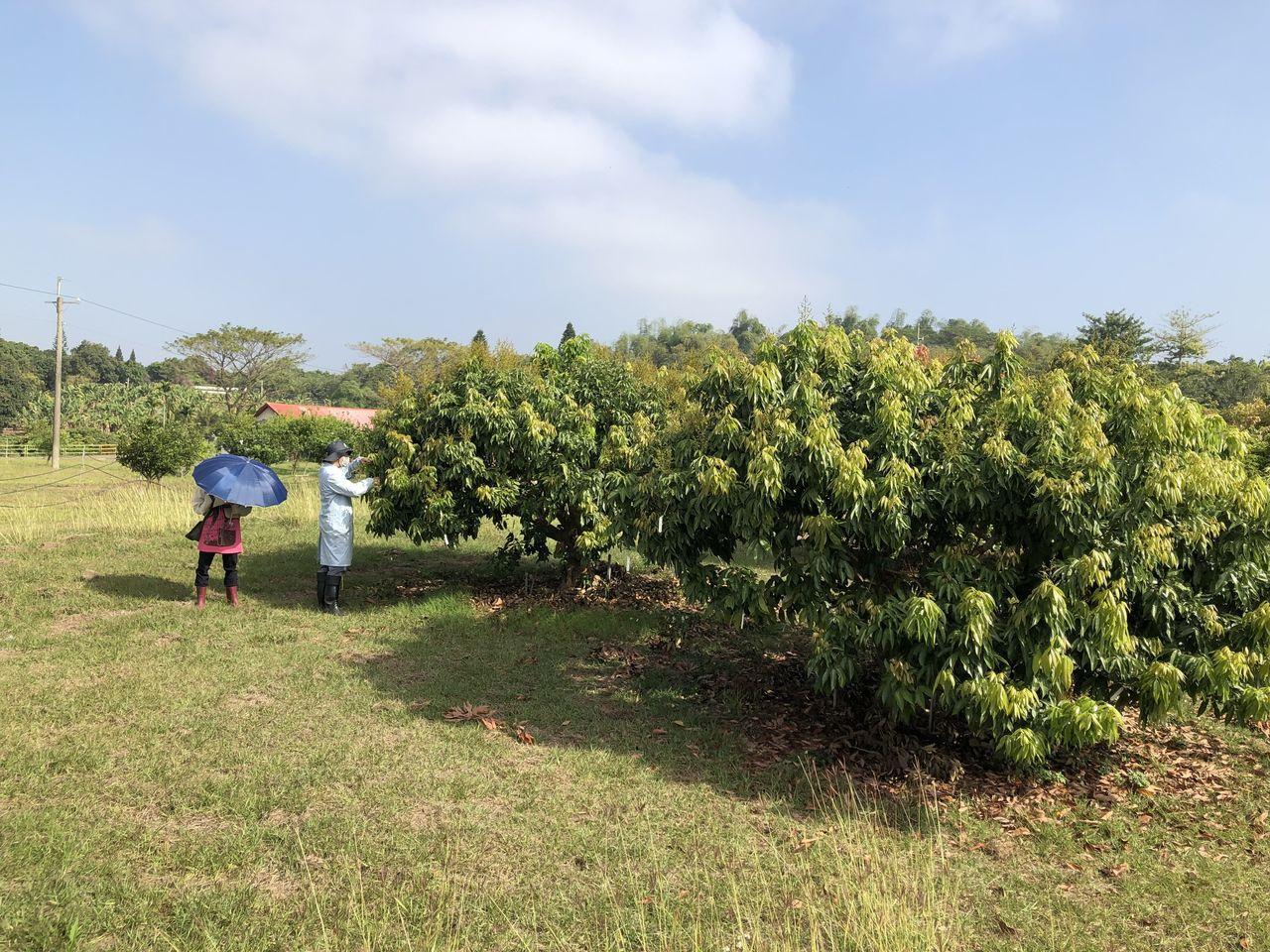 旱象嚴重,嘉義農試所栽種荔枝樹一樣受災,荔枝樹吐葉芽,不吐花芽沒結穗。記者魯永明...