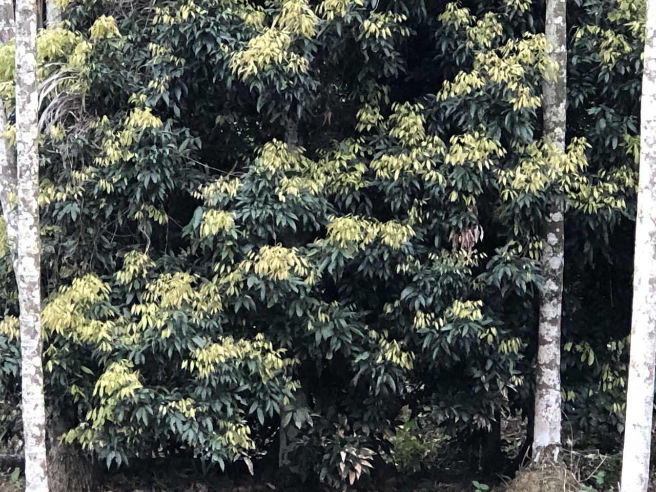 旱象嚴重,嘉義縣山區荔枝樹吐葉芽,不吐花芽,滿樹新芽,看不到花芽結穗,沒收成去了...