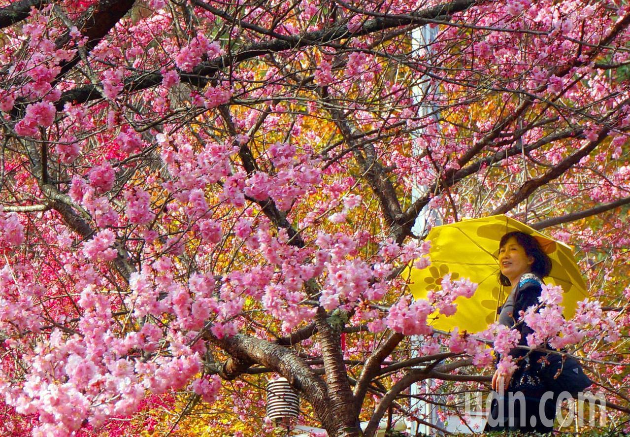 交通部觀光局公布春遊補助方案;圖為武陵農場櫻花盛開情形。 報系資料照