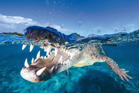對於吳永森來說,近日赴古巴拍攝美洲鱷的經驗,最為驚心動魄! 圖/吳永森提供