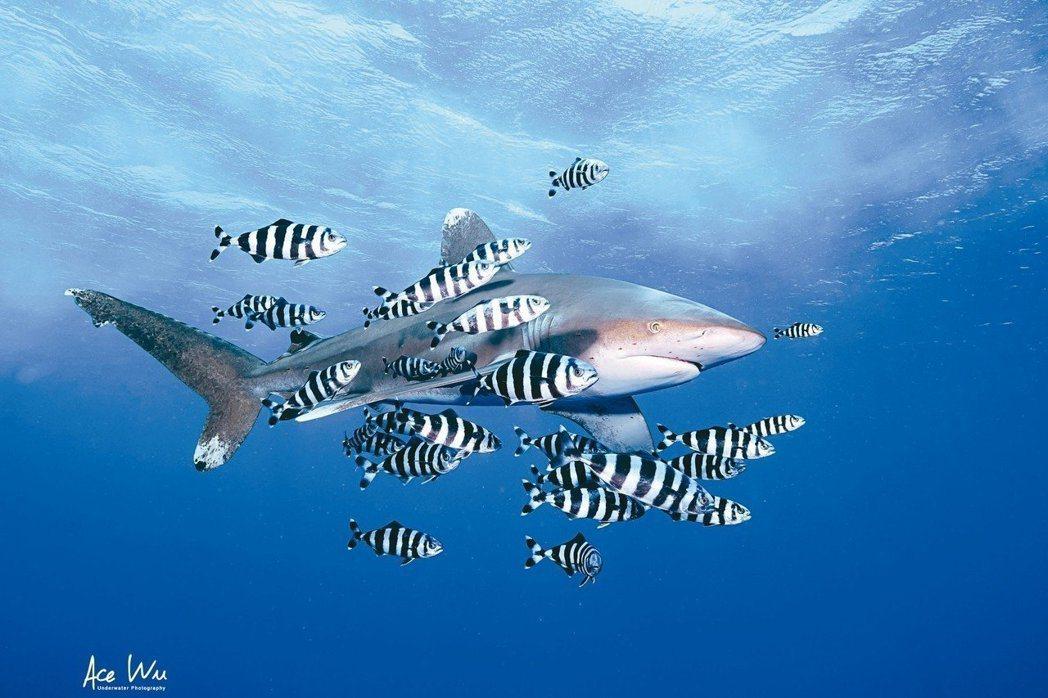 2016年吳永森曾赴埃及紅海的小兄弟島,拍攝「遠洋白鰭鯊」。 圖/吳永森提供