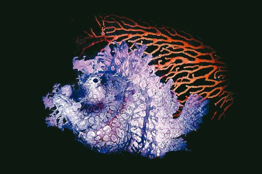 去年吳永森在印尼拍攝的《Rhinopias》,也獲美國「史密斯.賴斯國際最佳自然...