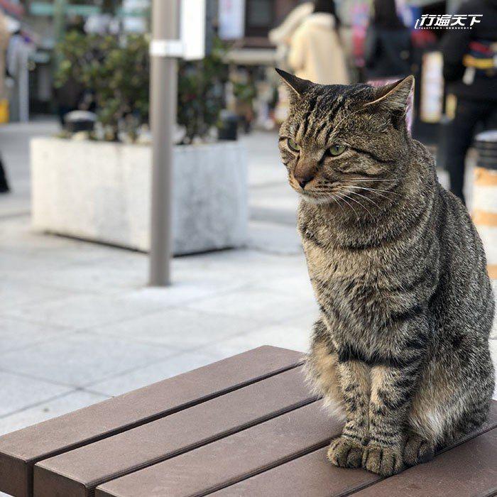 經常出現在江之島入口青銅鳥居前的虎斑貓。