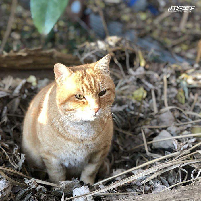 躲在路邊的島貓,定住不動還以為是漂亮的假貓。
