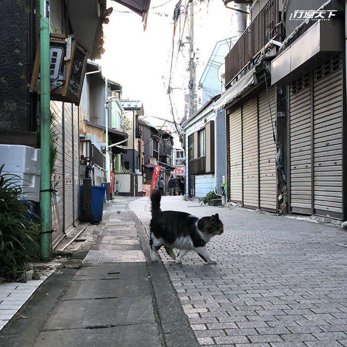 江之島貓可以恣意在街上漫步。