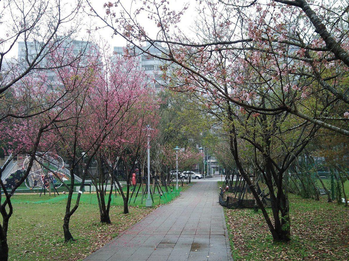 新北市議員蔡淑君要與公所尋找適當地點或在各個公園廣植櫻花,讓林口地區隨處都可見到...