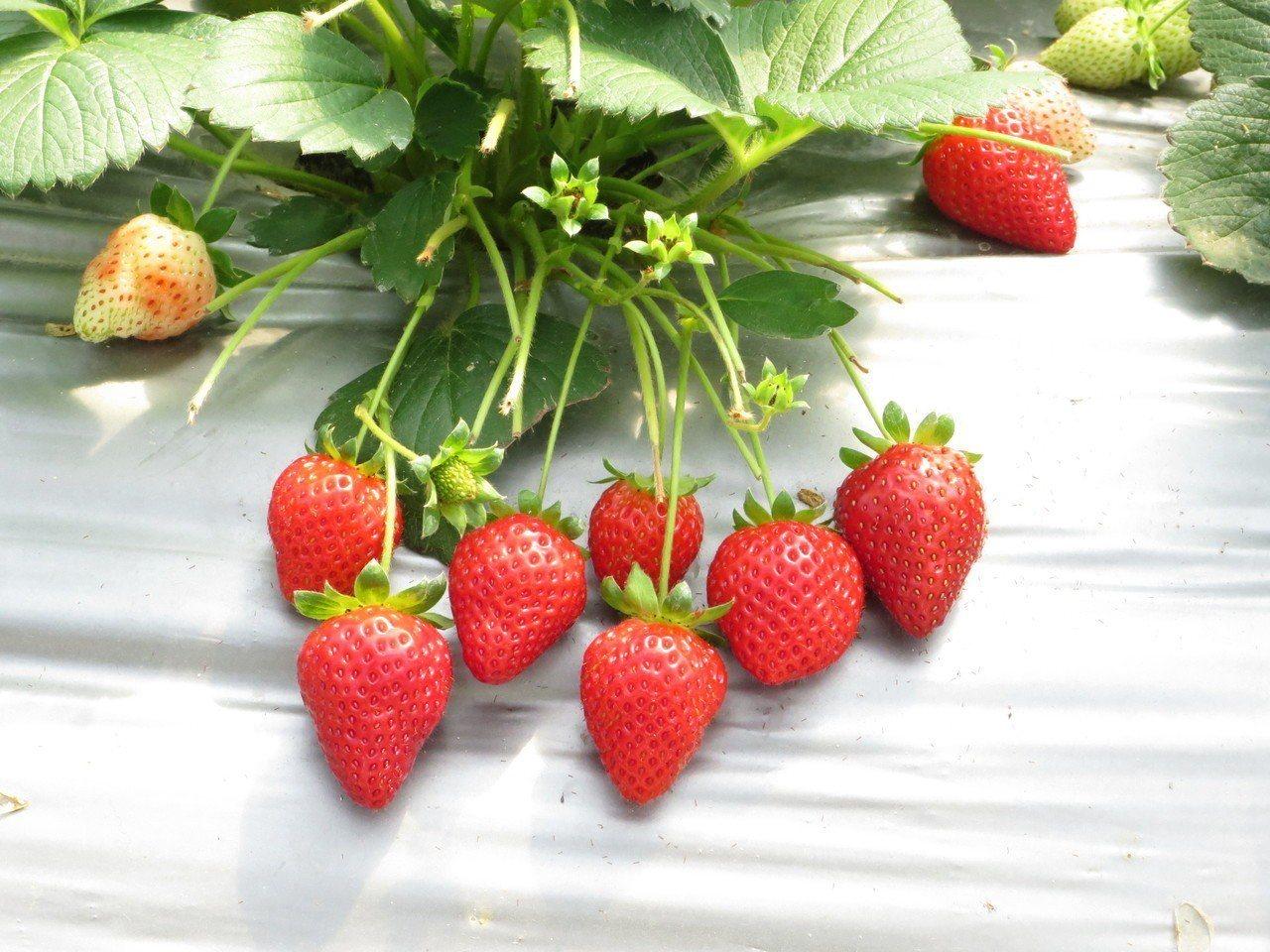北市「2019內湖草莓季」9日登場,產發局表示,今年天氣溫暖,內湖草莓預期香甜可...