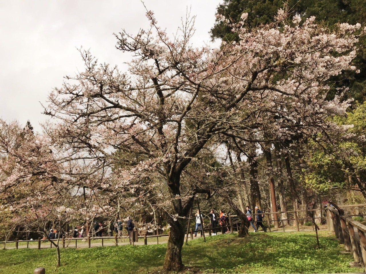 阿里山櫻王盛開期預估在3月中旬。圖/蕭明學提供