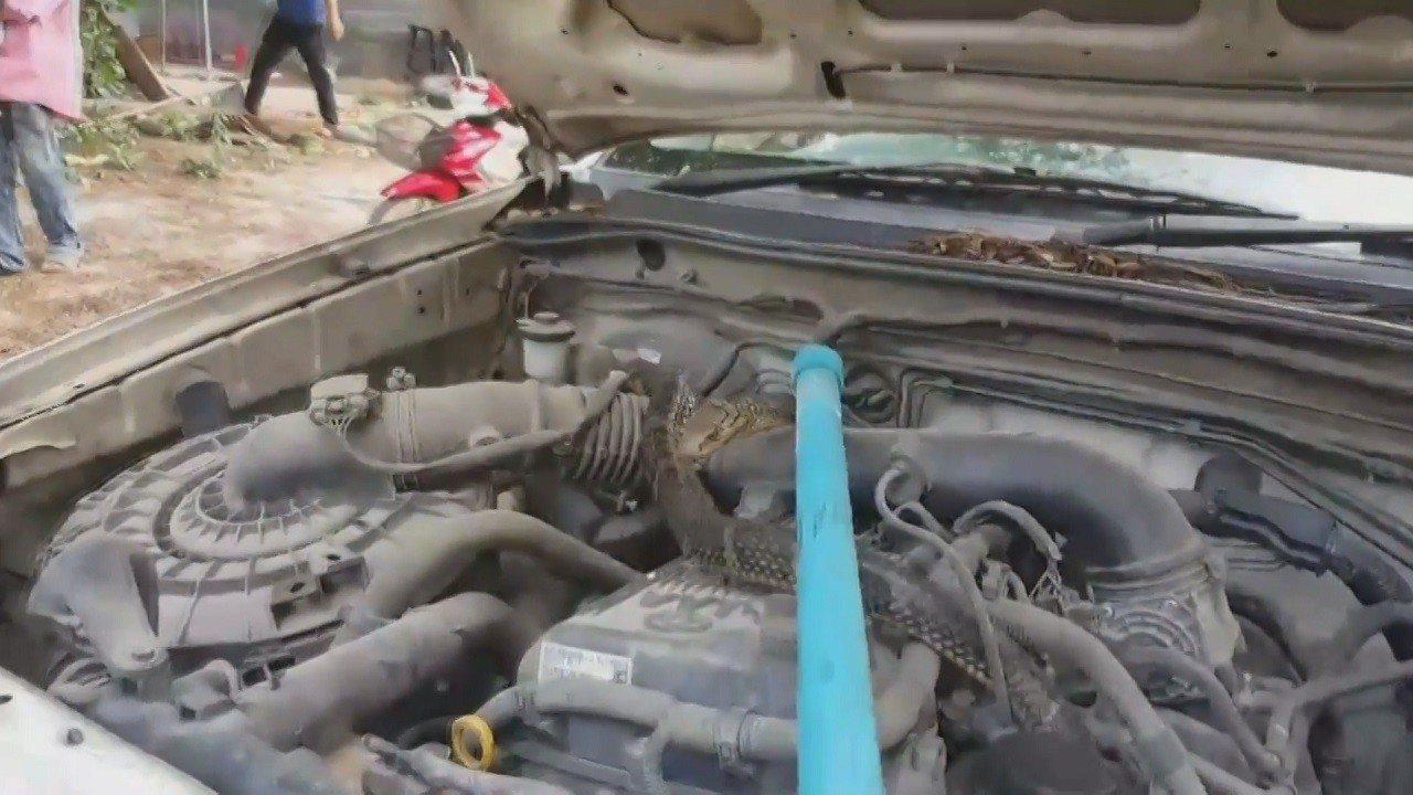 泰國中部春武里府4日發生一名車主驚見一條眼鏡王蛇鑽進自家貨卡引擎室,讓她嚇到趕緊...