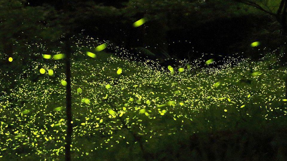 東勢林場是賞螢勝地,今年有2天1夜的生態之旅。圖/摘自東勢林場粉絲團