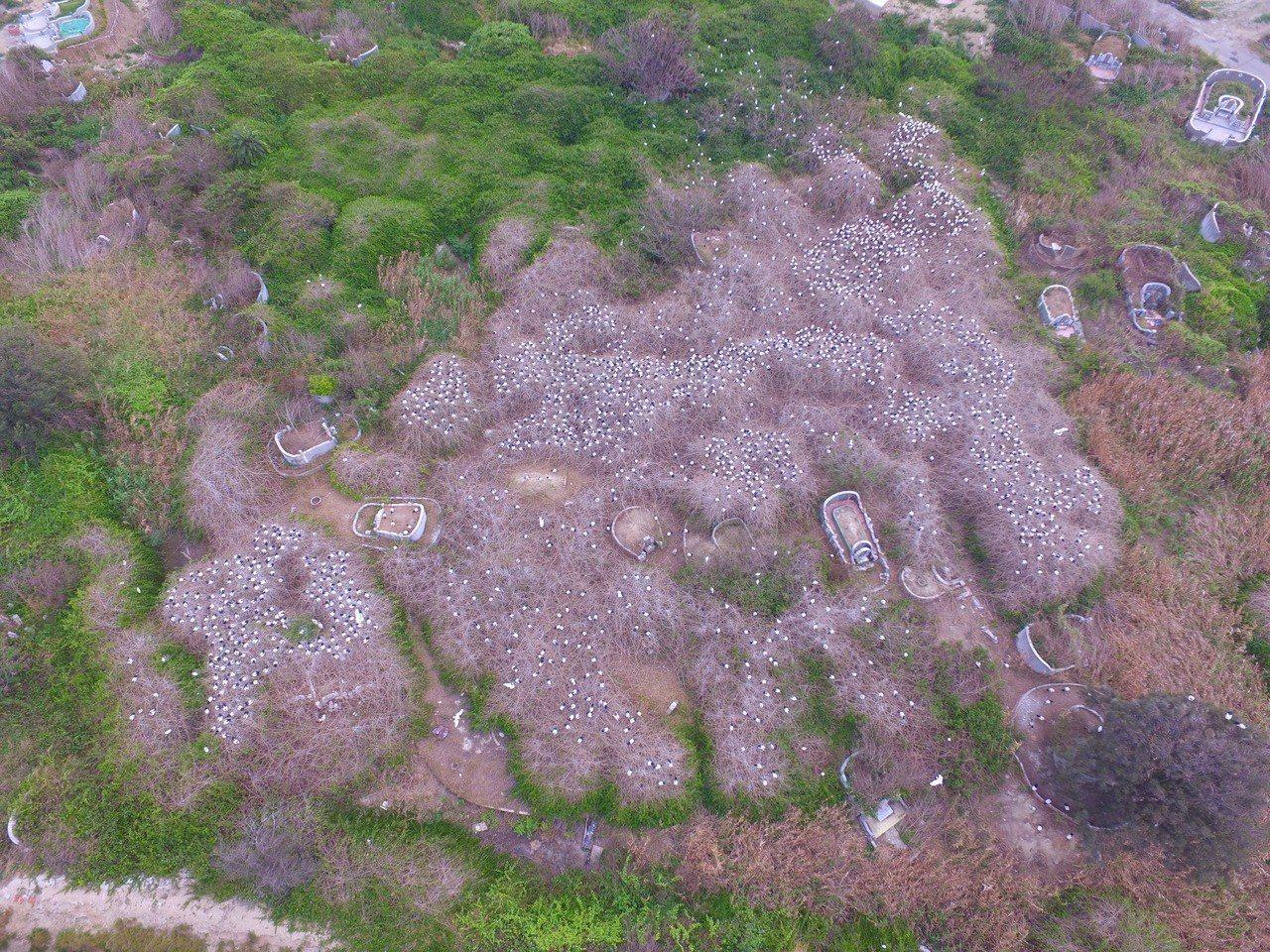 嘉義縣沿海東石鄉某公墓,發現龐大埃及聖䴉繁殖巢區,景象驚人。圖/陳建樺提供