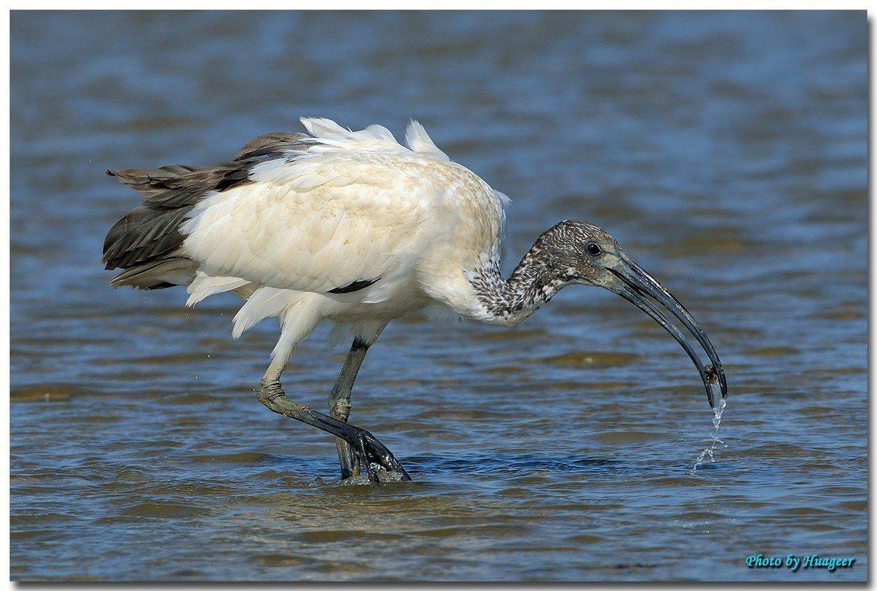 歐盟列為百大入侵外來種的鳥類埃及聖䴉,在台灣大量繁殖爆量,影響其他鳥類生存環境。...