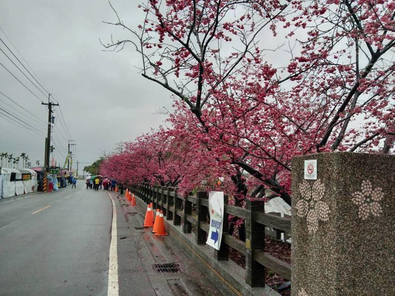 今天下雨,台中后里泰安櫻花還在開,泰安派出所旁停車場已開放停車。記者游振昇/攝影