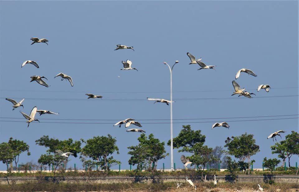 外來鳥種埃及聖鹮迅速繁衍成長,對環境生態造成壓力。圖/蘇銀添提供